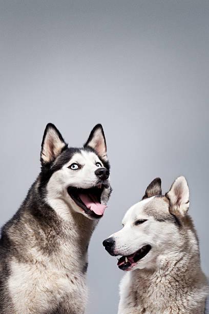 Laughing Husky Dogs:スマホ壁紙(壁紙.com)