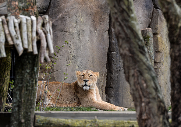 動物「Finishing Touches Are Applied To The New Lion's Enclosure At London Zoo」:写真・画像(3)[壁紙.com]