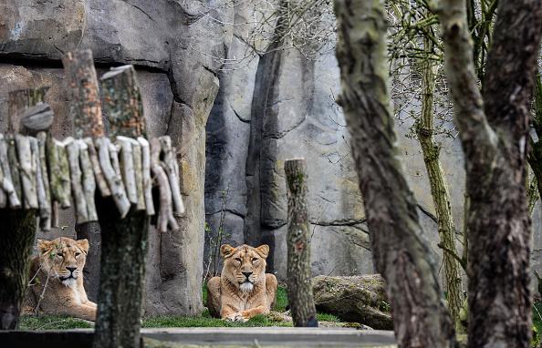動物「Finishing Touches Are Applied To The New Lion's Enclosure At London Zoo」:写真・画像(15)[壁紙.com]