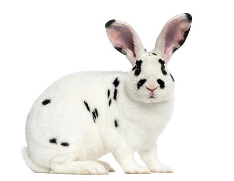Rabbit「Rex Dalmatian Rabbit isolated on white」:スマホ壁紙(18)