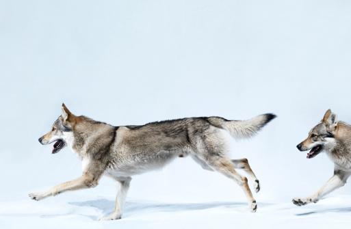 Wolf「2 wolves running」:スマホ壁紙(15)
