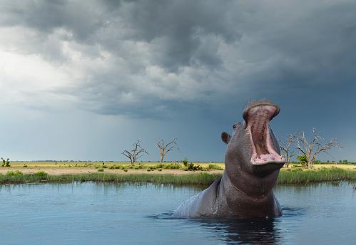 Animal Wildlife「yawning Hippo (Hippoptamus amphibius)」:スマホ壁紙(7)