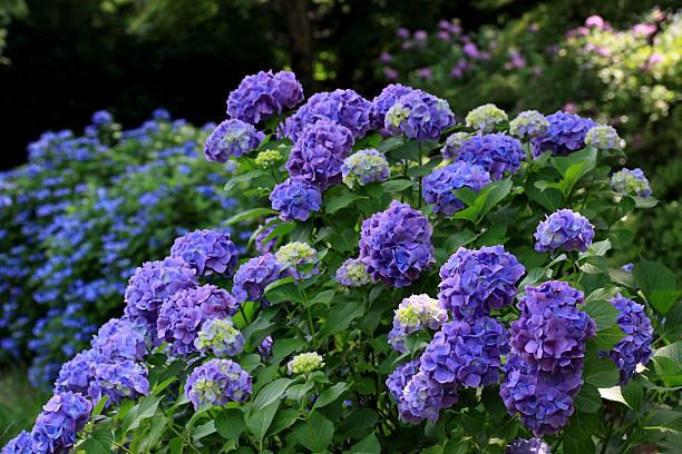 Purple Hydrangea Flowers:スマホ壁紙(壁紙.com)