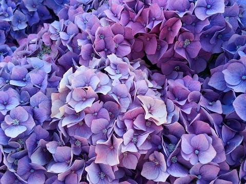 あじさい「Purple hydrangea flowers」:スマホ壁紙(6)