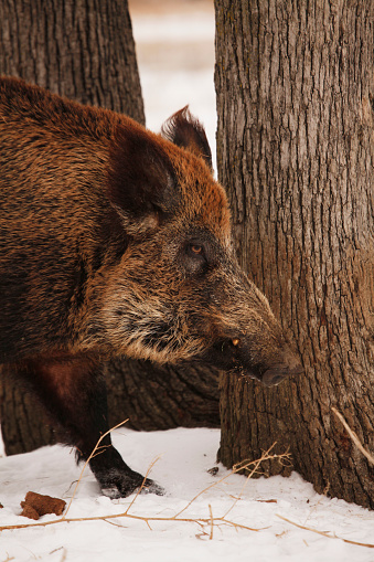 猪「Feral Hog」:スマホ壁紙(10)