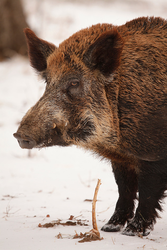 猪「Feral Hog」:スマホ壁紙(9)