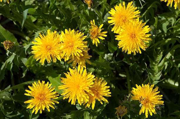 Yellow flowering dandelions (Taraxacum officinale):スマホ壁紙(壁紙.com)
