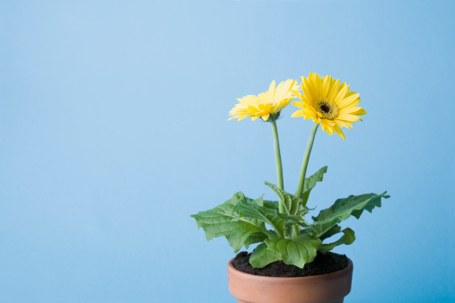 Planting「Yellow flowers on blue background」:スマホ壁紙(2)