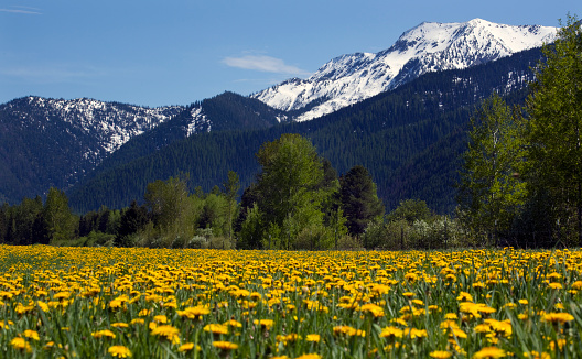 たんぽぽ「Yellow flower farm near Glacier National Park, Montana, USA」:スマホ壁紙(0)