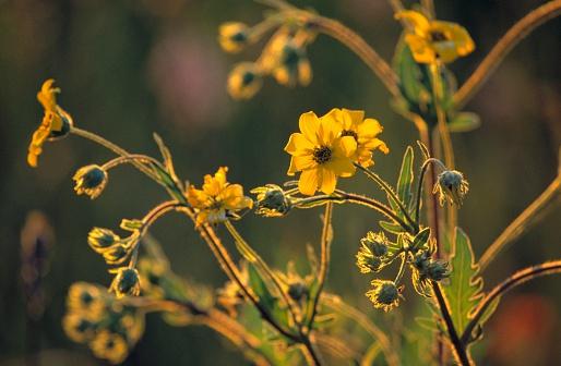 Choosing「Yellow Flowers」:スマホ壁紙(16)