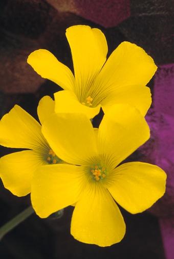 Choosing「Yellow Flowers」:スマホ壁紙(17)