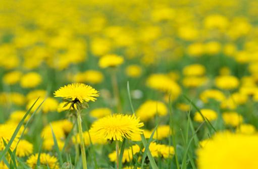 たんぽぽ「Yellow flowers field」:スマホ壁紙(3)