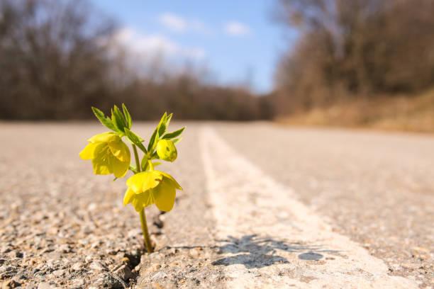 Yellow flower growing on crack street:スマホ壁紙(壁紙.com)