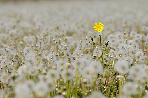 Individuality「Yellow Flower in meadow of dandelion (Taraxacum officinale) sead heads (Dandelion clocks).」:スマホ壁紙(6)