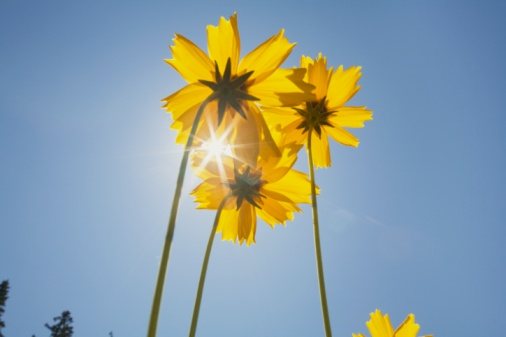 Low Angle View「Yellow flowers against the sky」:スマホ壁紙(17)