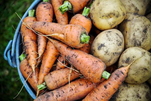 Harvesting「Homegrown fresh harvest of garden carrots and potatoes」:スマホ壁紙(9)