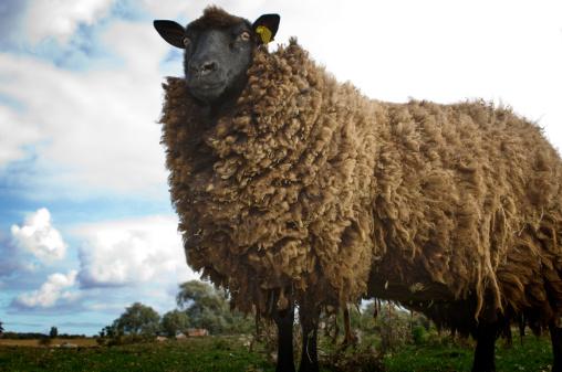 Wool「Sheep (Ovis aries) on farm, UK」:スマホ壁紙(18)
