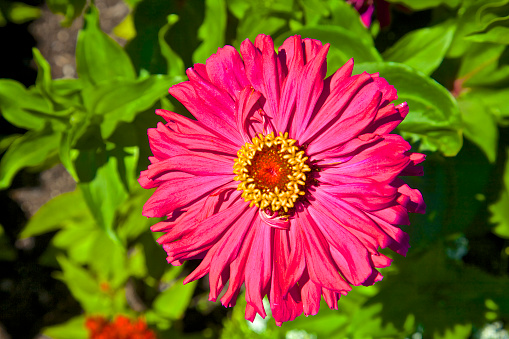 Flower Head「Purple Zinnia Elegans over green foliage」:スマホ壁紙(6)
