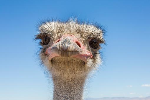 Beak「Portrait of ostrich」:スマホ壁紙(12)