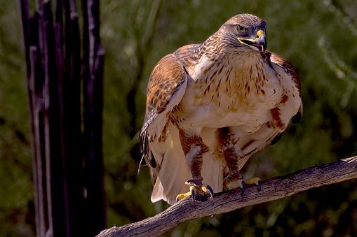 Hawk - Bird「Portrait of a Red Tail Hawk on a branch, Saguaro National Monument, Arizona, America, USA」:スマホ壁紙(14)