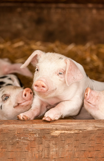 カーネーション「Portrait of Gloucestershire Old Spot piglets, Carnation, Washington State, USA」:スマホ壁紙(14)