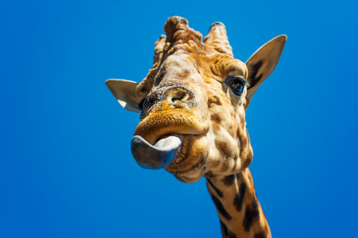 Giraffe「Portrait of a giraffe sticking out its tongue」:スマホ壁紙(1)