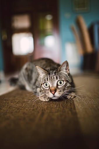 Crouching「Portrait of starring cat crouching on carpet at home」:スマホ壁紙(19)