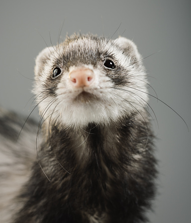 Rodent「Portrait of a ferret looking to the camera」:スマホ壁紙(11)