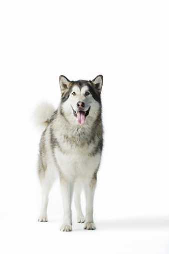 Part of a Series「Portrait of dog (Alaskan Malamute) against white b」:スマホ壁紙(3)