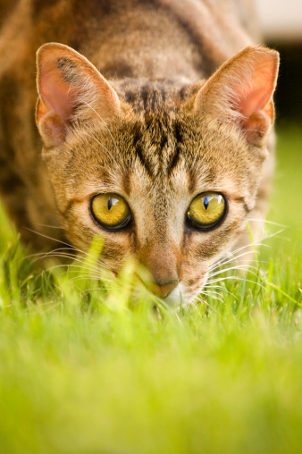 Animals Hunting「Portrait of Cat Hiding in Grass」:スマホ壁紙(7)