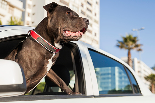 Carefree「Portrait of a pit bull terrier hanging his head out of a car window.」:スマホ壁紙(3)