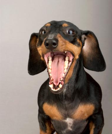 Furious「Portrait of yawning Dachshund」:スマホ壁紙(0)