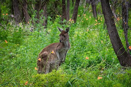 カンガルー「Portrait of a Kangaroo, Perth, Western Australia, Australia」:スマホ壁紙(13)