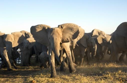 Sensory Perception「Portrait of African Elephant (Loxodonta africana) Herd Stampeding」:スマホ壁紙(15)