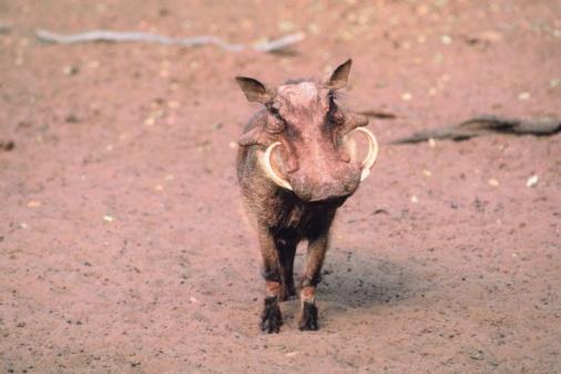 猪「Portrait of wild boar on savanna, Africa」:スマホ壁紙(18)