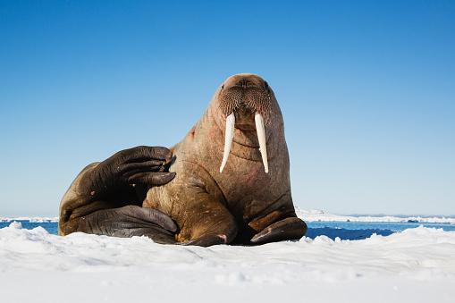 Svalbard and Jan Mayen「A portrait of a walrus on an ice floe」:スマホ壁紙(15)