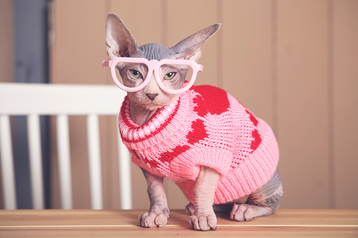Cat「Portrait of Sphynx cat on table wearing pink pullover and funny glasses」:スマホ壁紙(12)