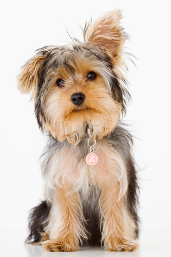 Sitting「Portrait of Yorkshire terrier」:スマホ壁紙(4)