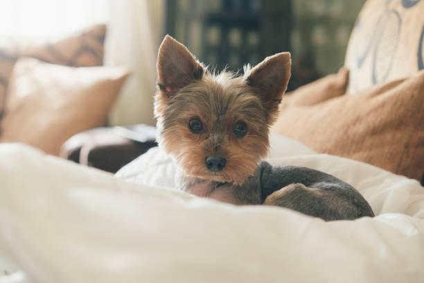 Portrait of yorkshire terrier lying on dog pillow:スマホ壁紙(壁紙.com)