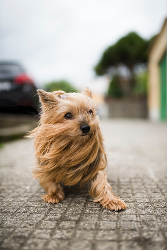 Tousled Hair「Portrait of Yorkshire Terrier with blowing hair」:スマホ壁紙(2)
