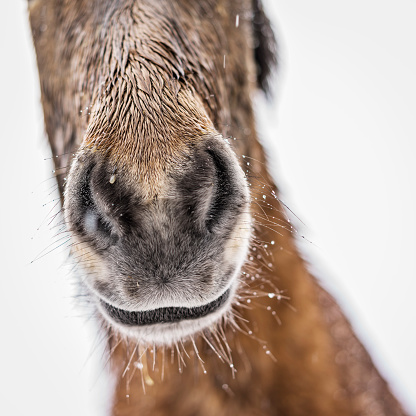 Stallion「Portrait of Icelandic Horse, Iceland」:スマホ壁紙(2)