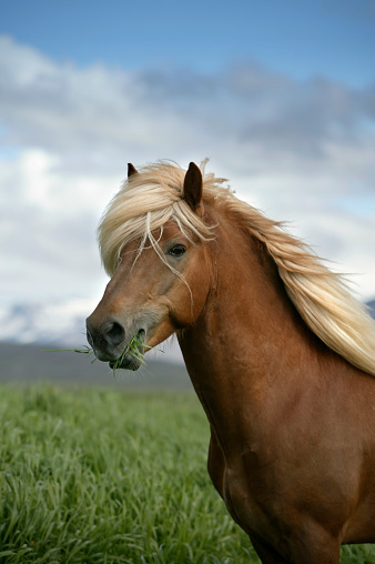 Stallion「Portrait of Icelandic horse, Iceland」:スマホ壁紙(8)
