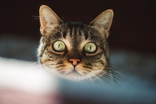 Animal Head「Portrait of starring cat with green eyes」:スマホ壁紙(8)