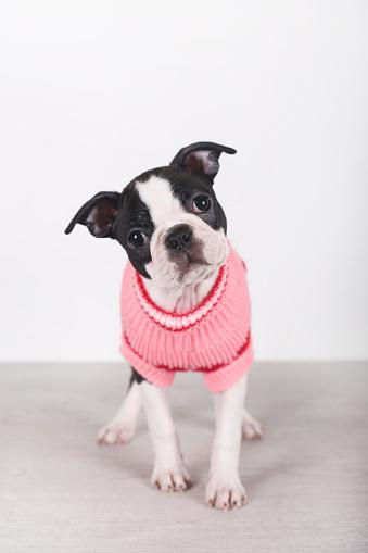 Dog Coat「Portrait of Boston terrier puppy wearing pink pullover」:スマホ壁紙(14)