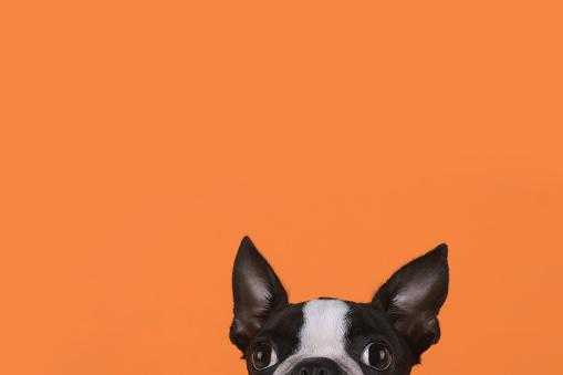 Animal Ear「Portrait of boston terrier puppy in front of orange background」:スマホ壁紙(17)