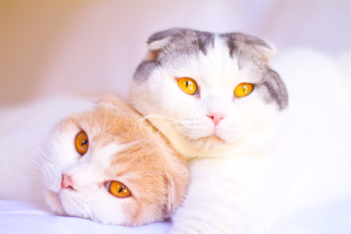 Scottish Fold Cat「Portrait of two Scottish Fold cats lying on a bed together」:スマホ壁紙(5)