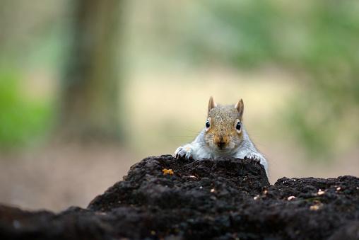 リス「Portrait of grey squirrel」:スマホ壁紙(3)