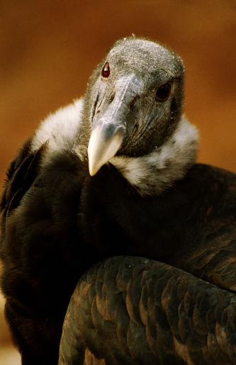 Bolivian Andes「Portrait of a captive Andean condor (Vultur gryphus).」:スマホ壁紙(1)