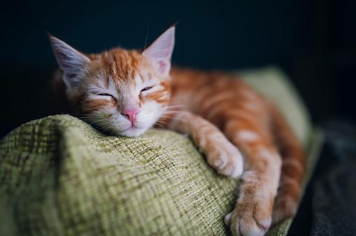 子猫「Portrait of tabby cat sleeping on the backrest of a couch」:スマホ壁紙(9)