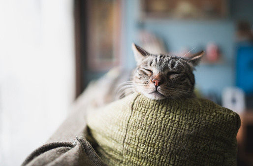 Cat「Portrait of tabby cat sleeping on the backrest of a couch」:スマホ壁紙(16)